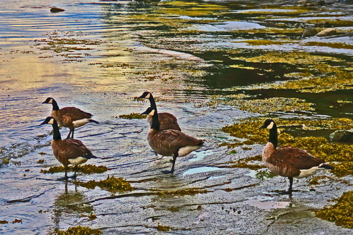 Geese-at-Sunset(3)e-web