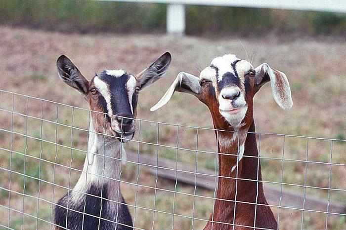 Goat-Story-(5)e-web