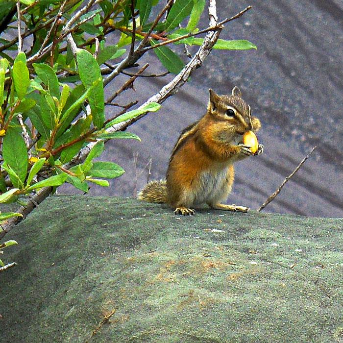 chipmunk-nut-web