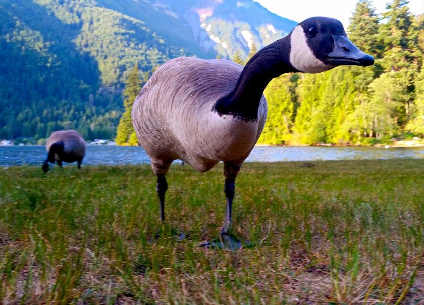 kawkawa-goose