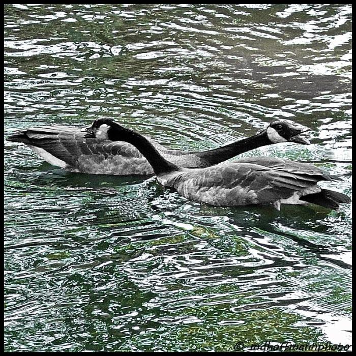 ducks-necking-web