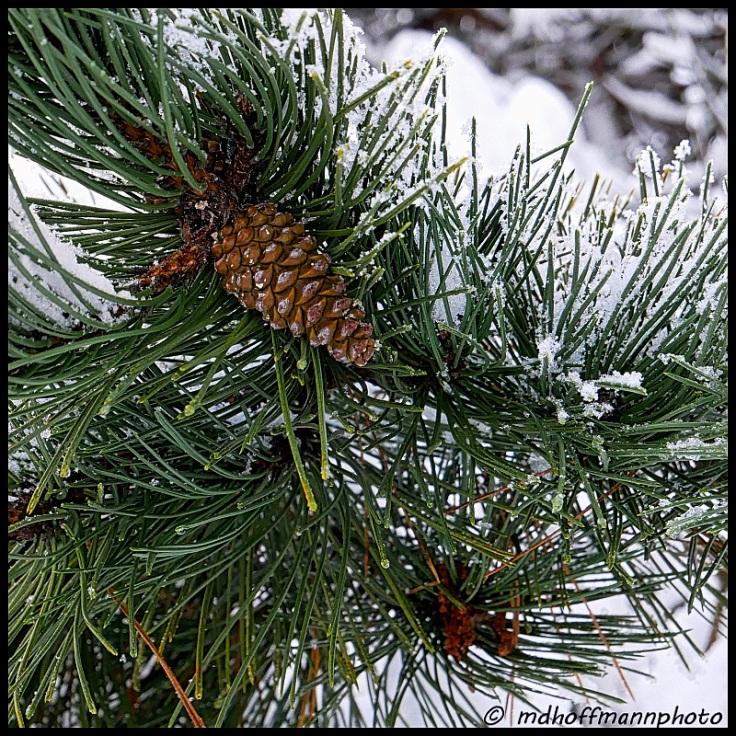 pinecone-frosty-web